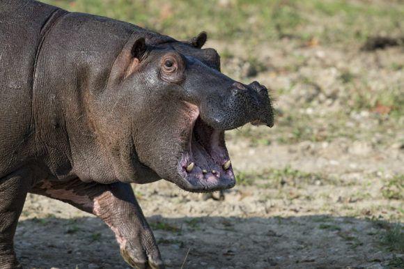 The Hippopotamus Essay- Essay on Hippopotamus for Students