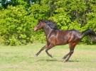 Beautiful dark bay Arabian horse galloping across a green summer