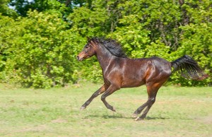 Beautiful dark bay Arabian horse galloping across a green summer