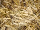 bigstock-Drought-on-a-wheaten-field-26845826